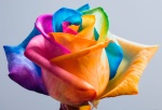 multi-colored rose image via designboom.com